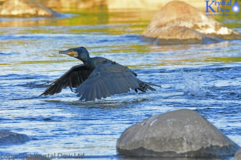 Black Shag Taking Off