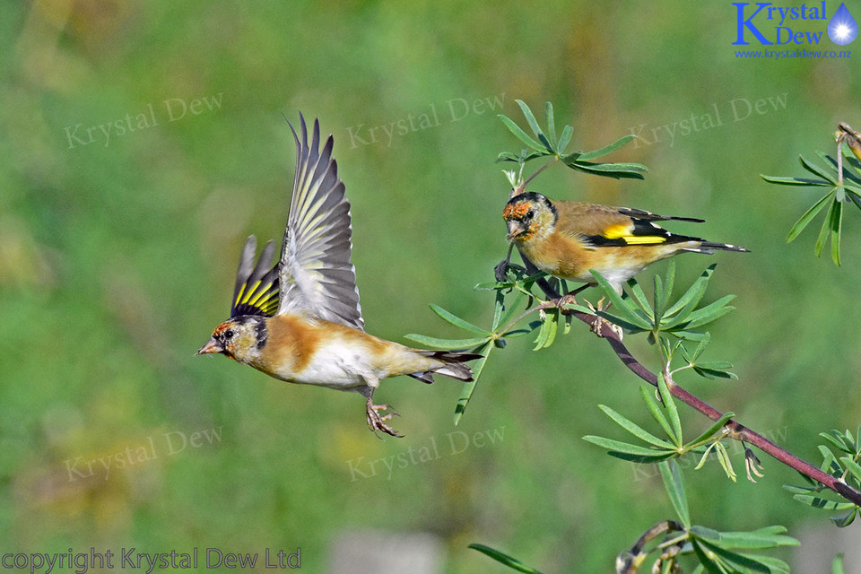 Golgfinch Taking Off