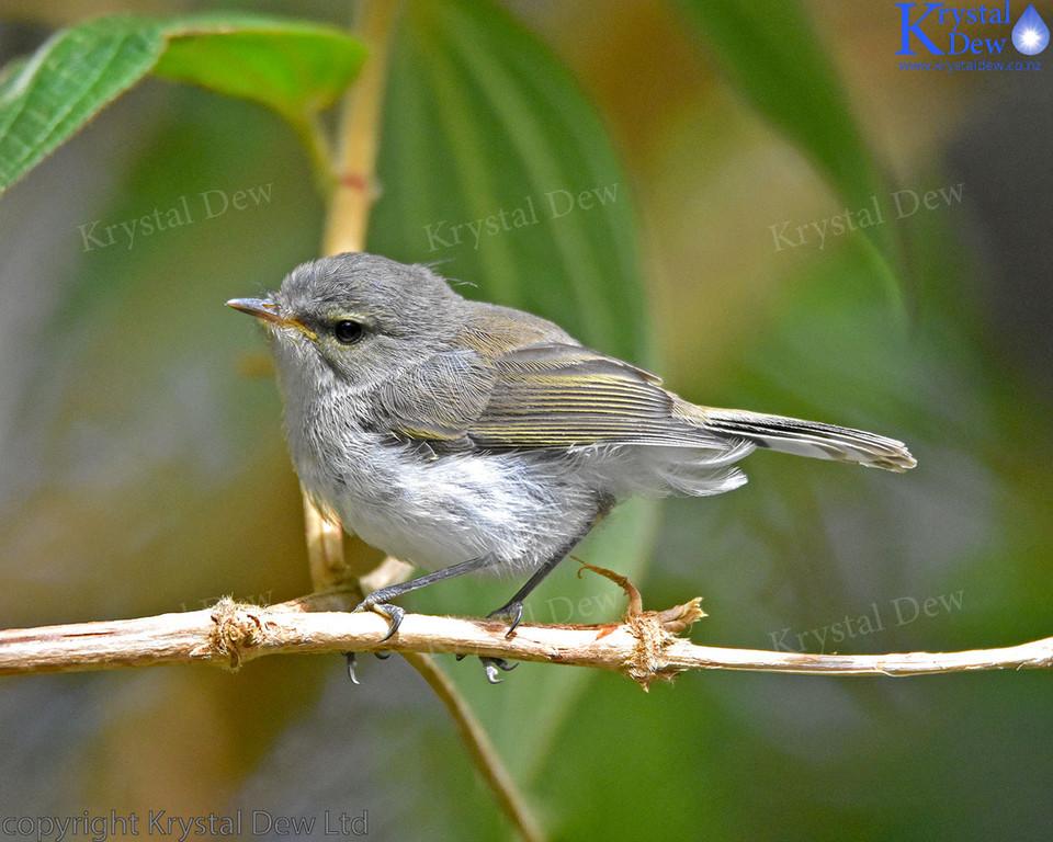 Juvenile Grey Warbler