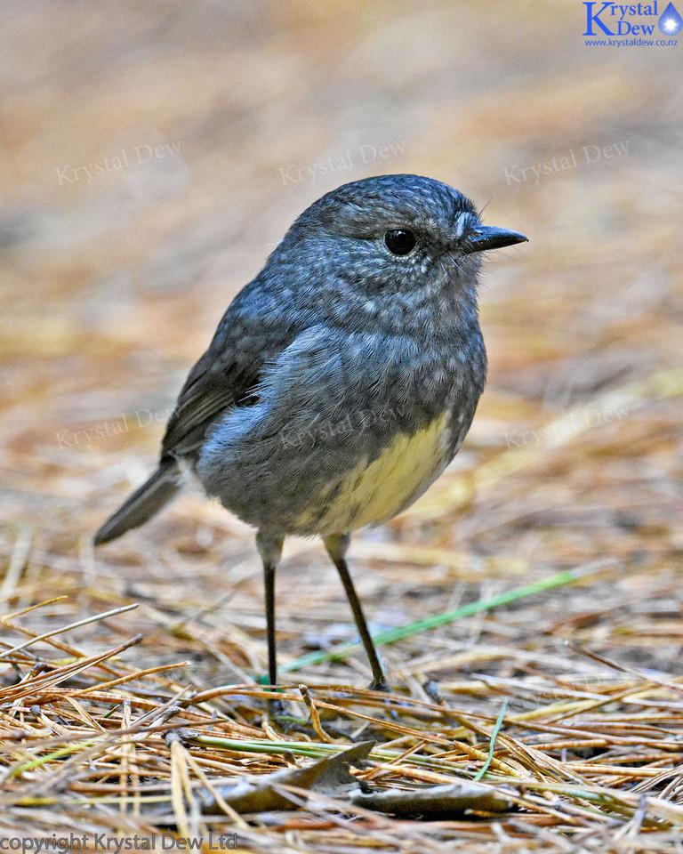 North Island Robin