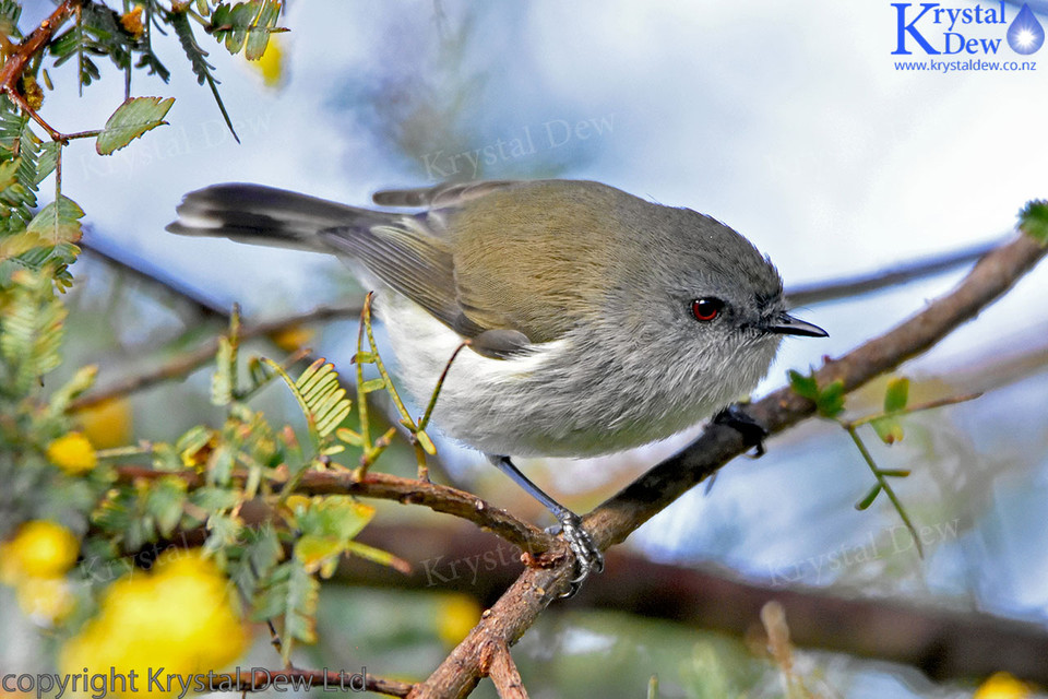 Grey Warbler In The Acacia