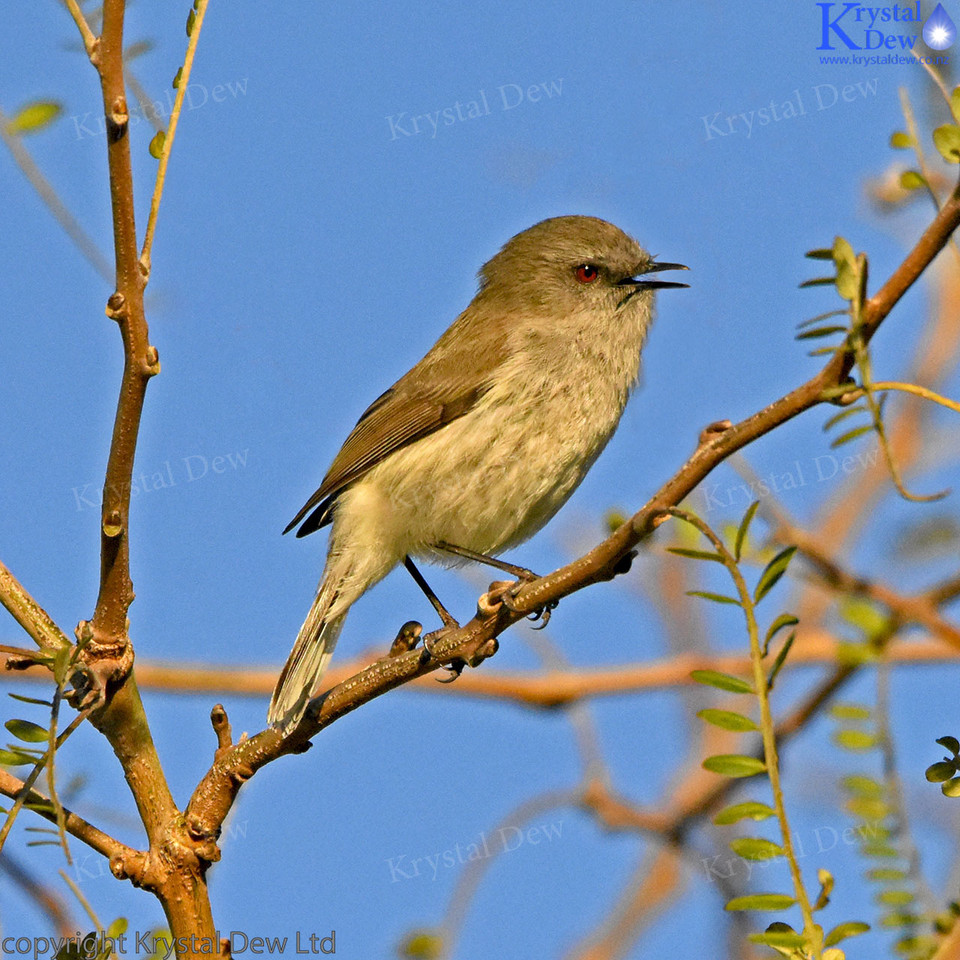Grey Warbler In A Kowhai