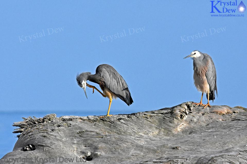 Pair of White Faced Herons at Beach