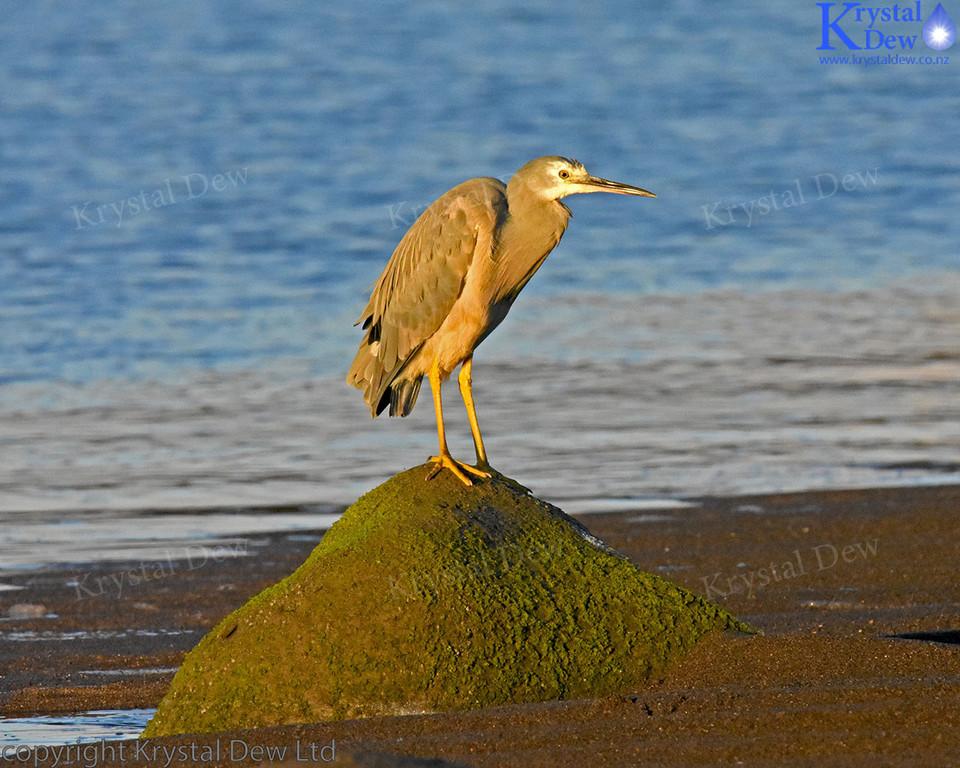 White Faced Heron On Rock