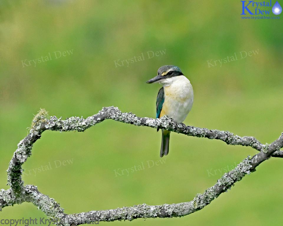 New Zealand Sacred Kingfisher