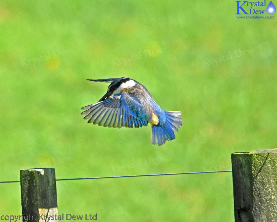 New Zealand kingfisher in flight
