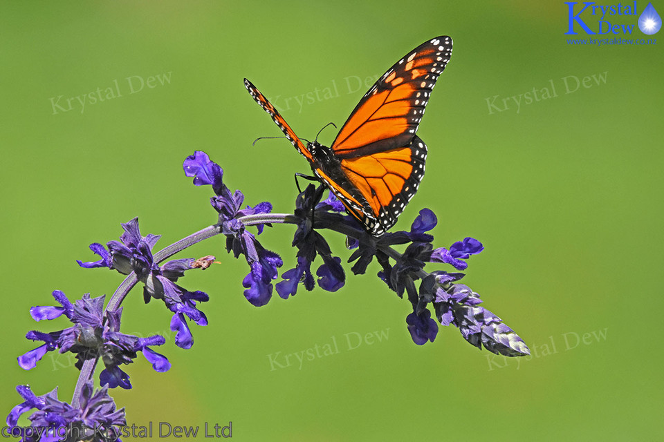 Monarch Butterfly on salvia flowers