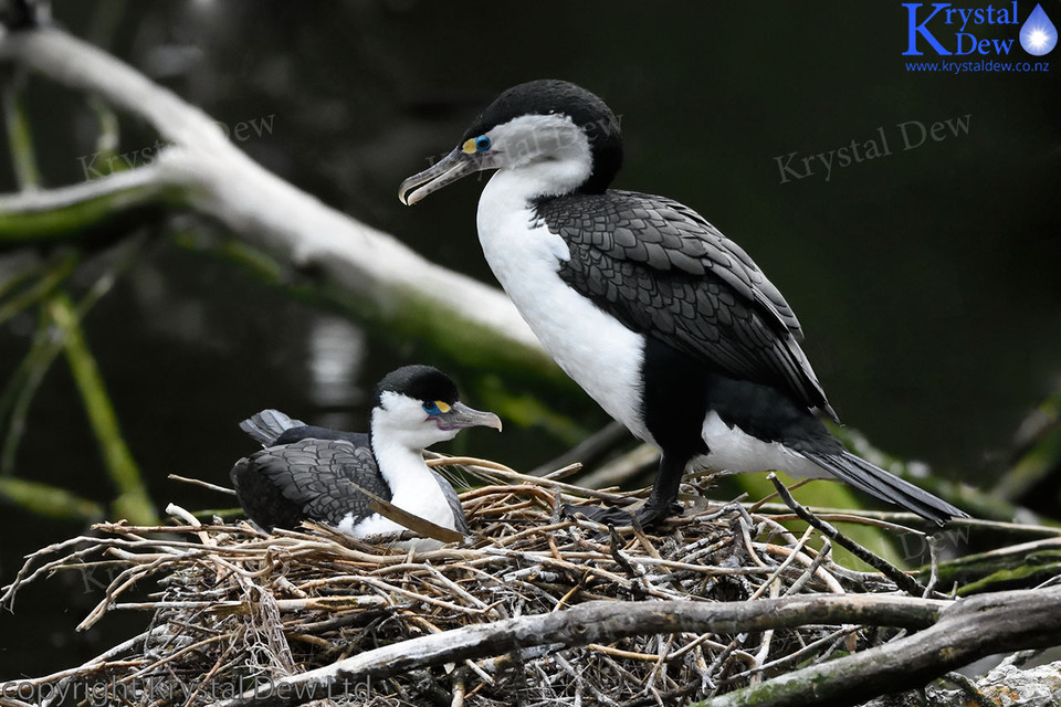 Pied Shag on nest with chick