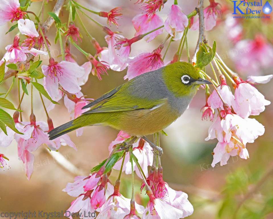 Silvereye in cherry tree