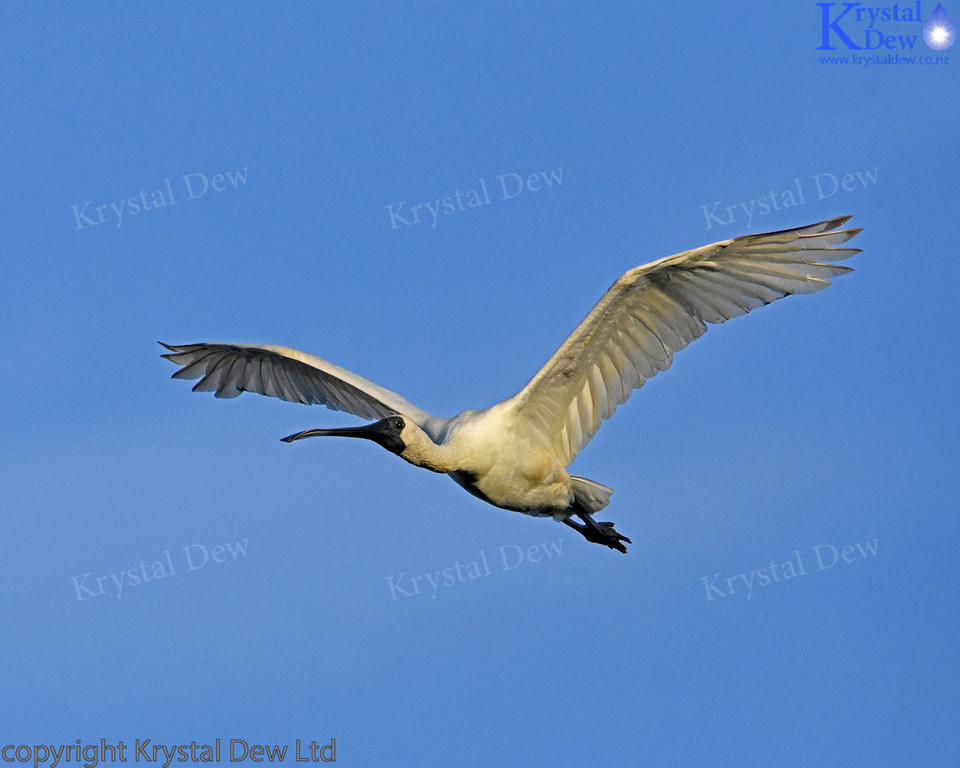 Royal Spoonbill Flying