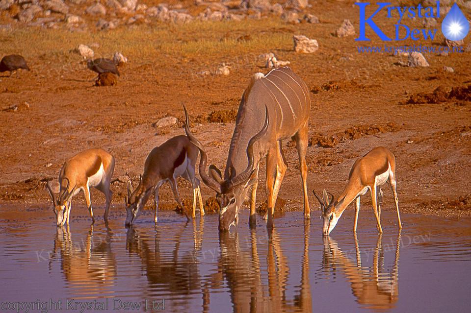 Kudu & Springbok At Water hole