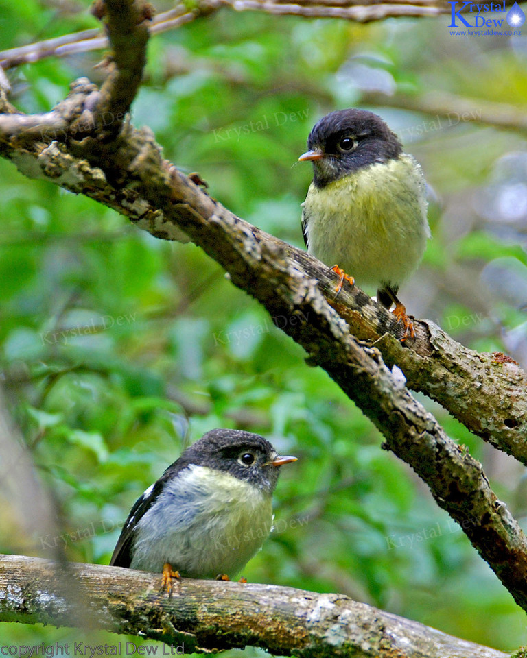 South Island Tomtit ADult & Juvenile