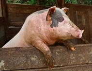Pigskin Leather Care