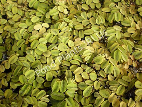 Salvinia- Floating Plant