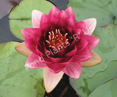 Almost Black- Red Hardy Water Lily