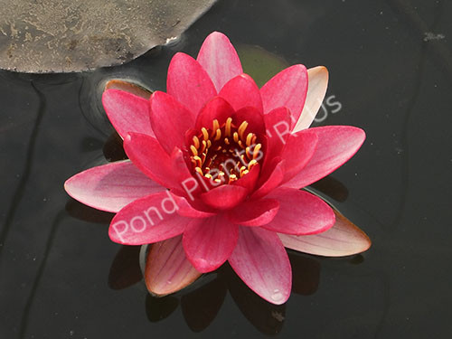 Burgundy Princess- Red Hardy Water Lily