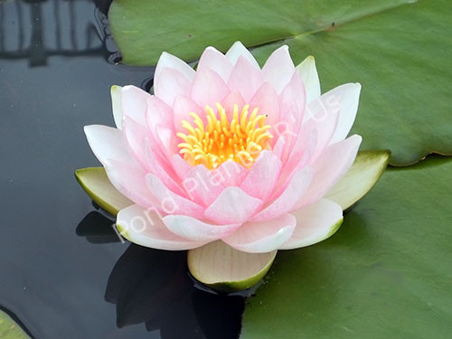 Hollandia- Pink Hardy Water Lily