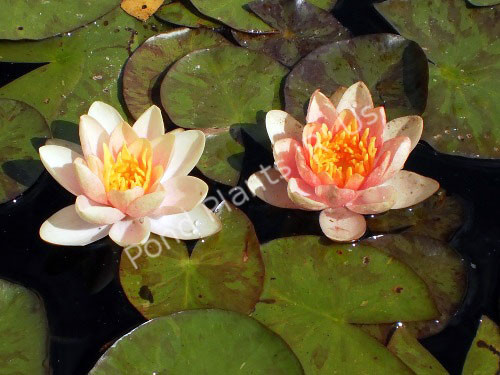Aurora- Changeable Hardy Water Lily
