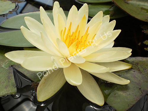 Inner Light- Yellow Hardy Water Lily