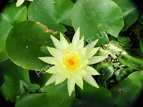 Mexicana- Yellow Hardy Water Lily