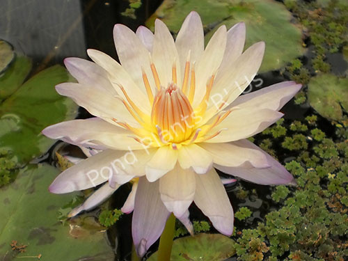 Green Smoke- Green Tropical Water Lily