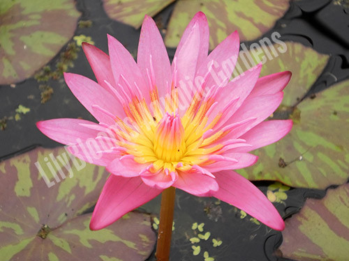Queen of Siam- Pink Tropical Water Lily