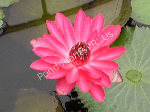 Antares- Red Tropical Night Blooming Water Lily