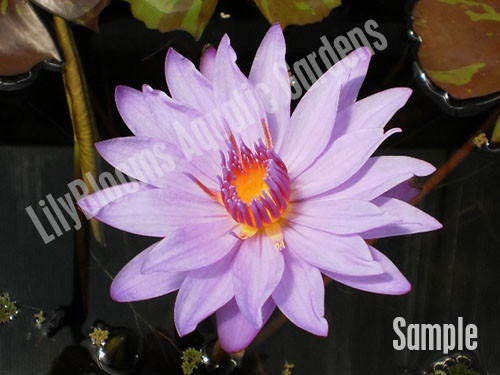 Unsorted Purple Tropical Water Lily