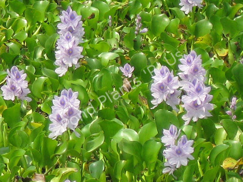 Water Hyacinth- Floating plant