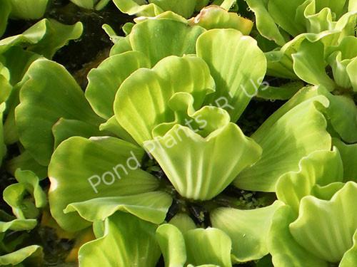 Curly Leaf Rosette Water Lettuce - Floating Pond Plant