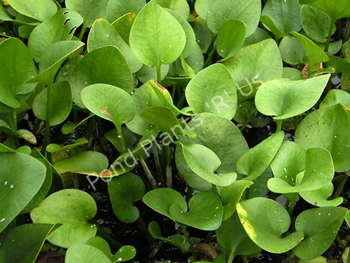 Frogbit- Floating Plant