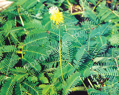 Sensitive Plant- Floating Plant
