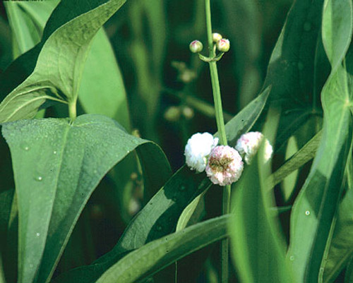 Double-Flowering Arrowhead- Hardy Bog Plant