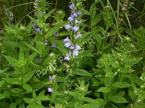 Blue Lobelia- Flowering Hardy Bog Plant