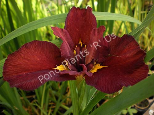 Ann Chowning- Red Louisiana Iris