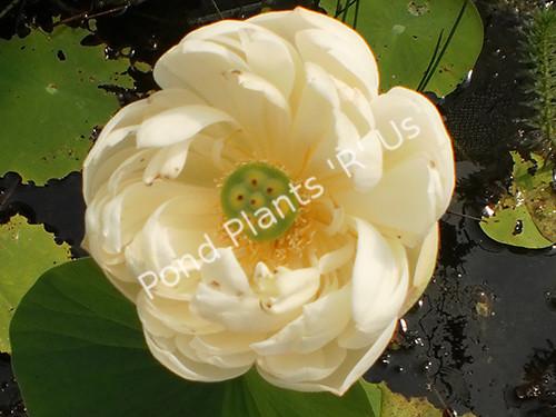 Spring Bird Lotus- White Hardy Water Lotus