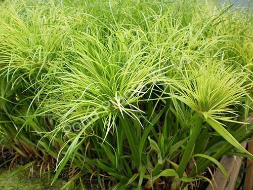 King Tut Papyrus- Tropical Bog Plant