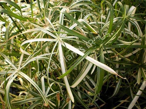 Variegated Umbrella Palm- Tropical Bog Plant