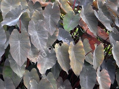 Black Taro- Tropical Bog Plant