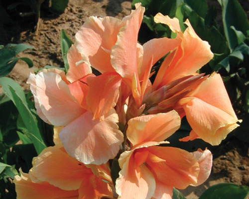Tropical Sunrise Canna- Tropical Bog Plant