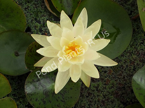 Perry's Double Yellow- Yellow Hardy Water Lily