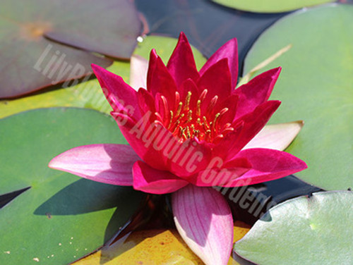 Gloriosa - red hardy water lily