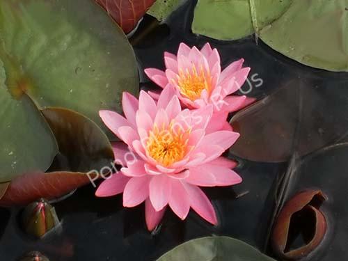 Celebration- Pink Hardy Water Lily