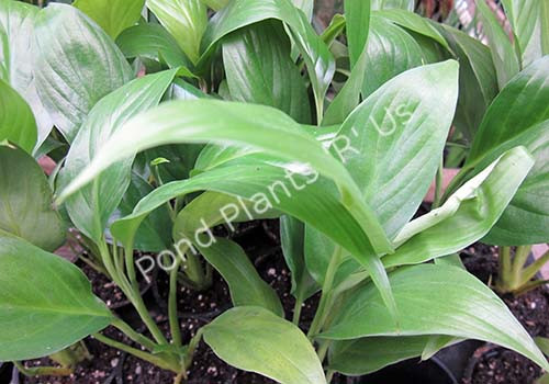 Peace Lily- Tropical Bog Plant