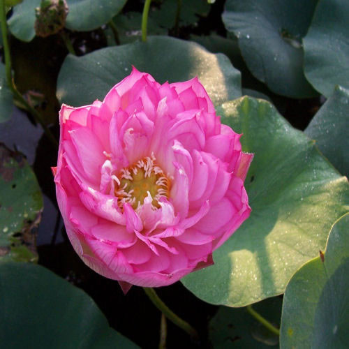 Emerald Daybreak - Hardy Water Lotus