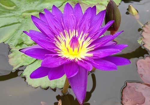 Tanzanite - Award WInning Purple Tropical Waterlily