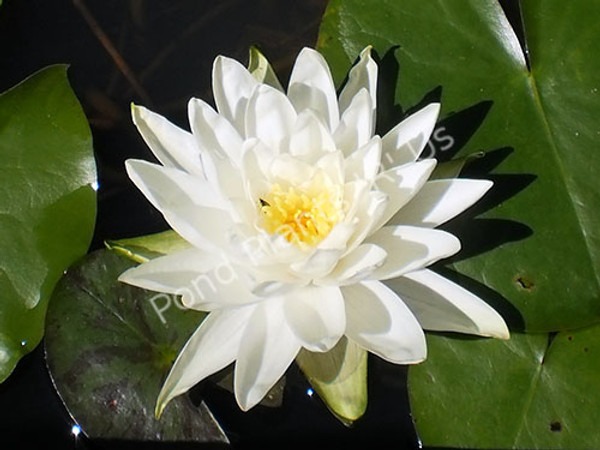 Perry's Double White- White Hardy Water Lily