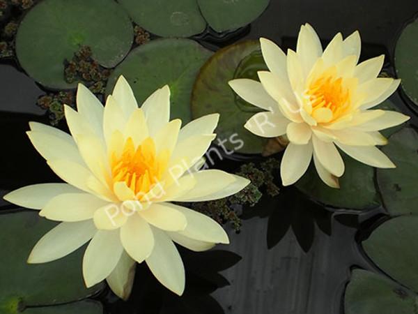 Lemon Mist- Yellow Hardy Water Lily