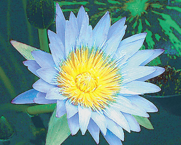 Leopardess- Blue Tropical Water Lily. Third day bloom.