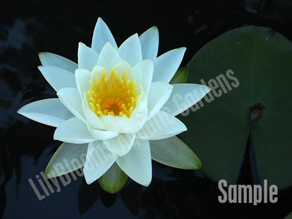 Unsorted White Hardy Lily
